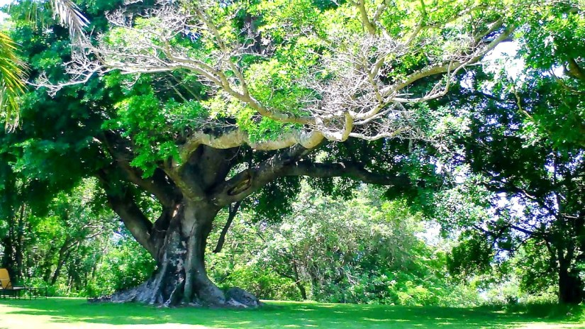 a huge tree at hilltop camp, hluhluwe-imfolozi, south africa