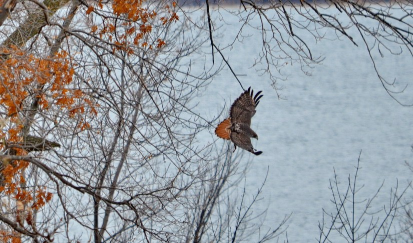 a red-tailed hawk, amherst island, ontario