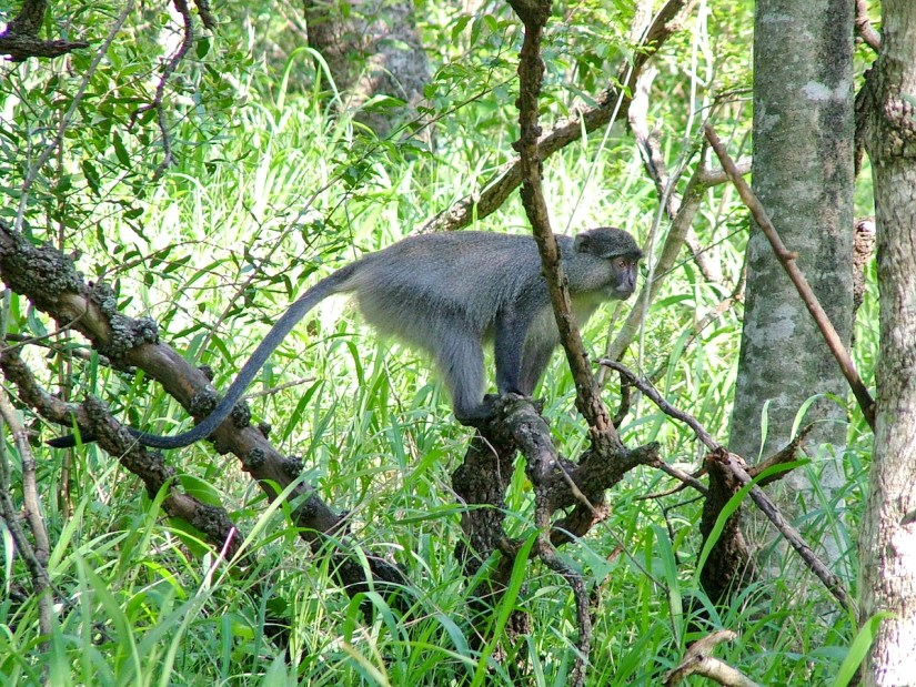 a samango monkey at hilltop camp, hluhluwe-imfolozi, south africa