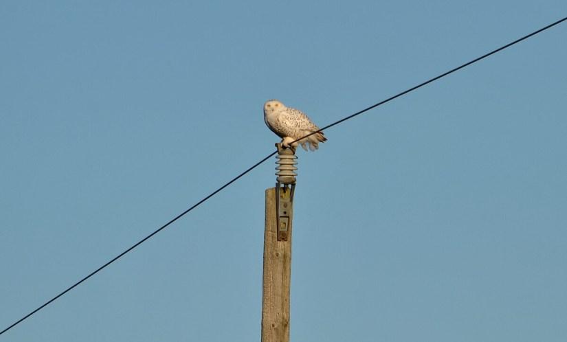 a snowy owl on a utility pole, amherst island, ontario