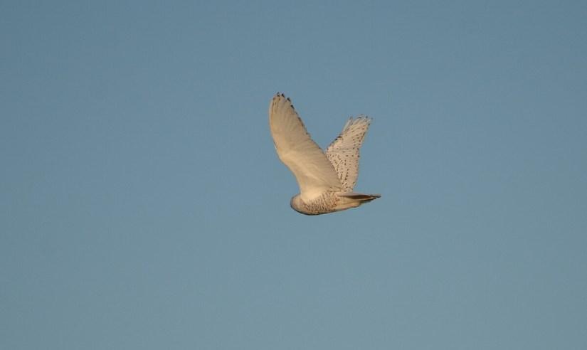 a snowy owl in flight, amherst island, ontario