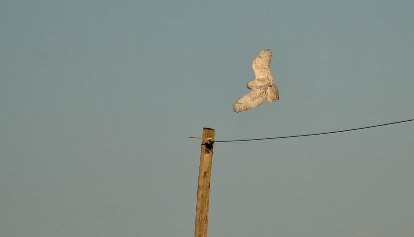 a snowy owl, amherst island, ontario