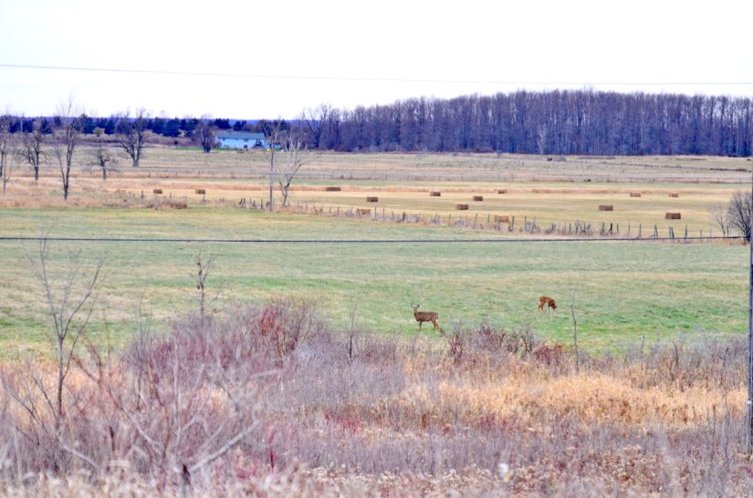 White-tailed deer foraging on a farm field on Amherst Island, Ontario, Canada.