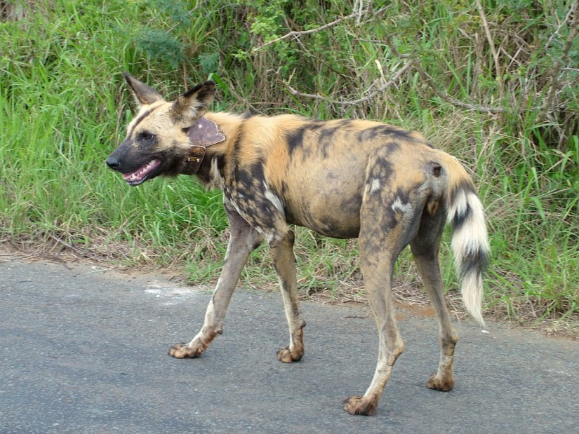 an african wild dog in hluhluwe-imfolozi, south africa