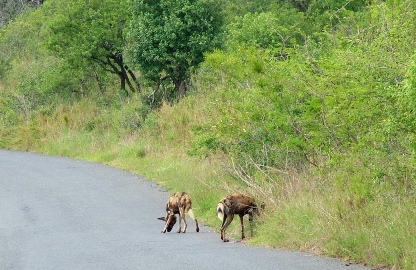 african wild dogs in hluhluwe-imfolozi park, south africa