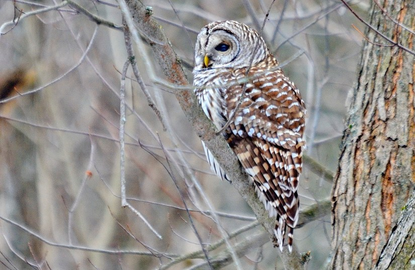 a barred owl, rouge national urban park, ontario