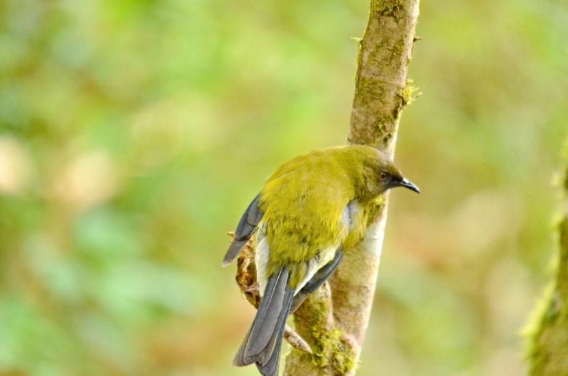a new zealand bellbird, lake matheson, south island, new zealand
