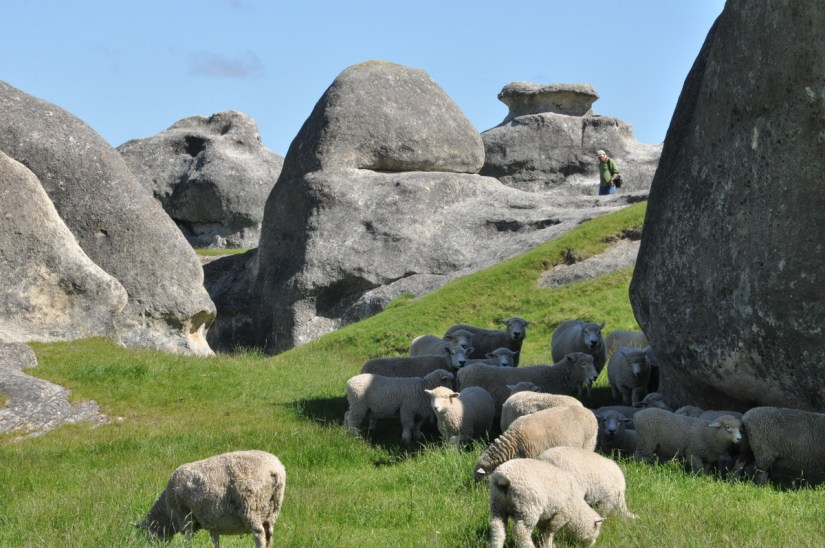 sheep amid the elephant rocks, duntroon, new zealand