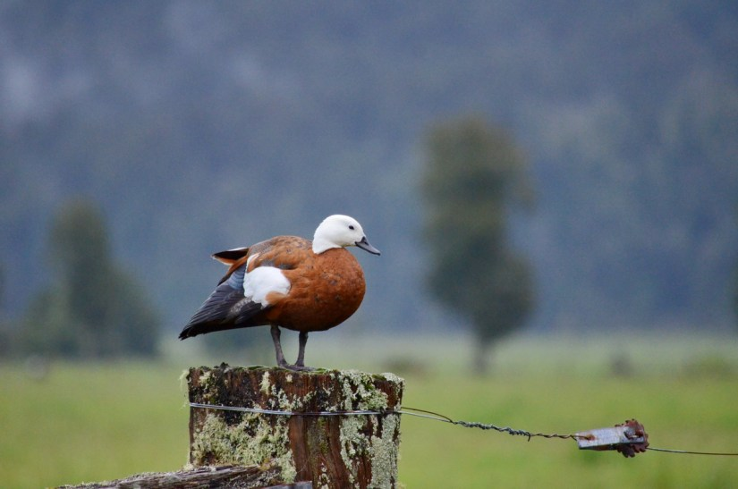 a female paradise shelduck, lake matheson, south island, new zealand