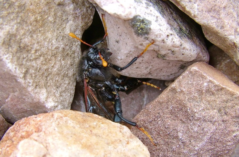 an elm sawfly, male, gros morne mountain, newfoundland, canada