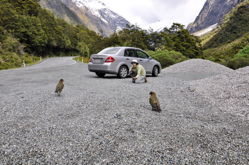 kea parrots, fiordland national park, south island, new zealand