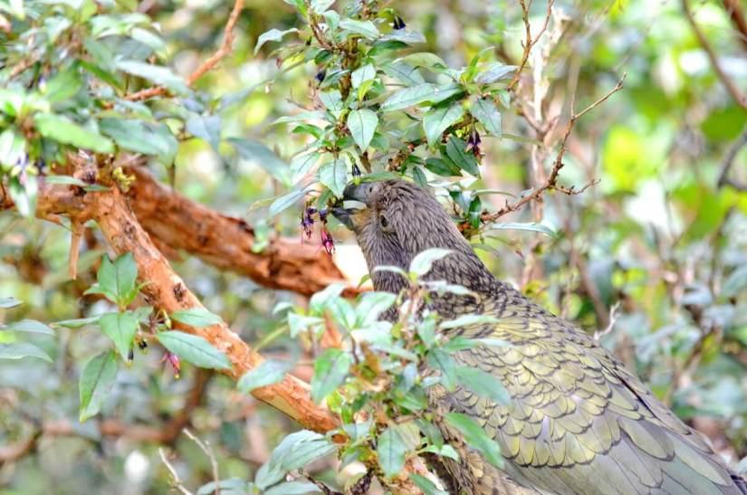 a kea parrot eating flowers, fiordland national park, south island, new zealand