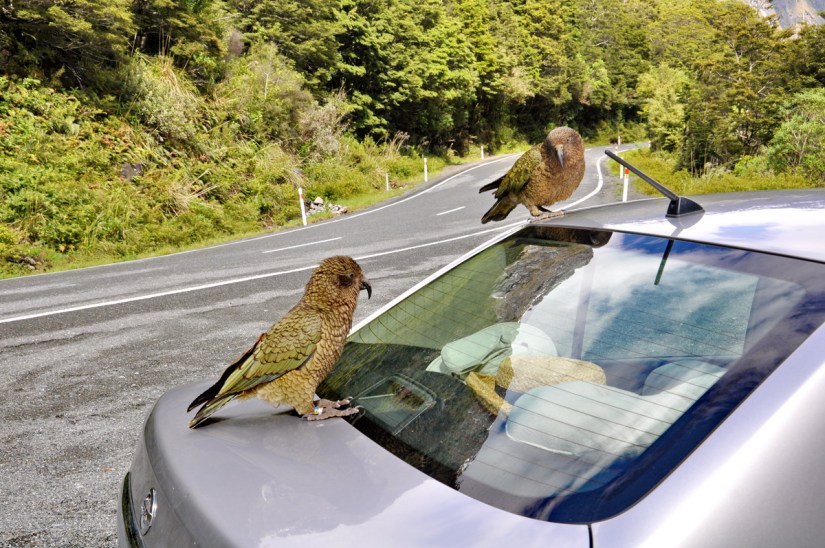 kea parrots on a car, fiordland national park, south island, new zealand
