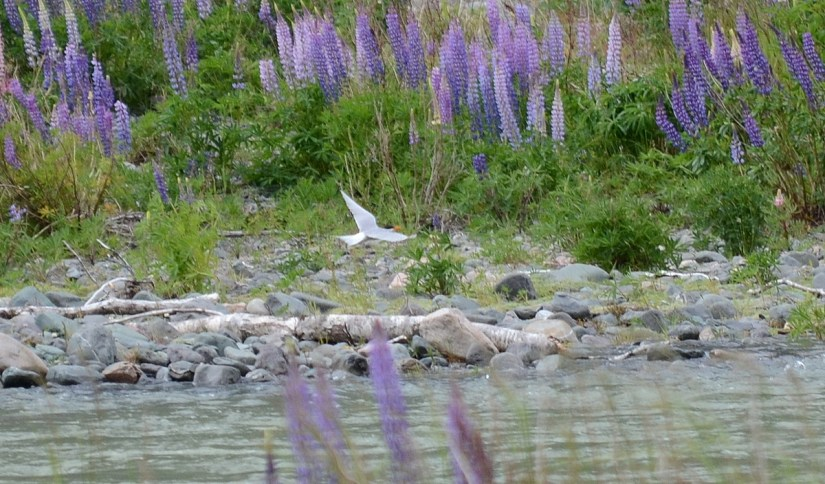 black-fronted tern flying over the eglinton river, eglinton river valley, fiordland national park, new zealand