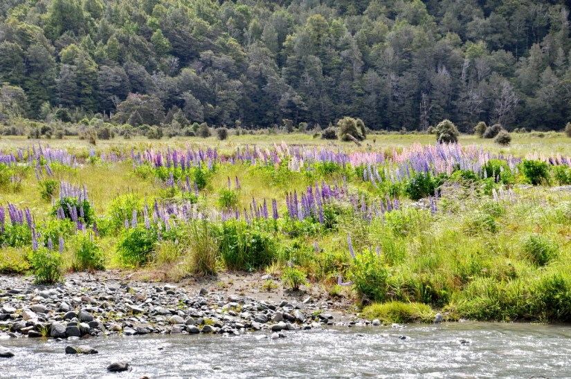 russell lupins, eglinton river valley, fiordland national park, new zealand