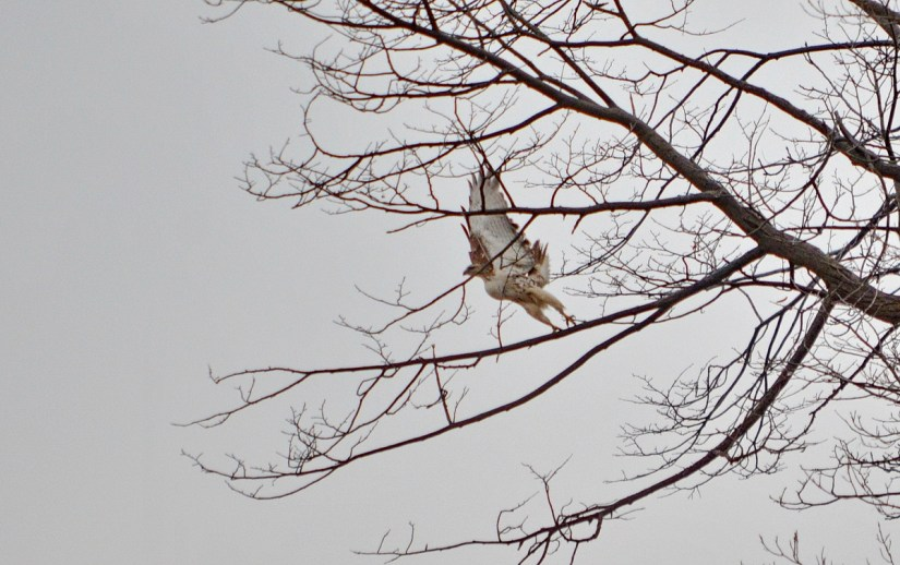 a red-tailed hawk, rouge national urban park, ontario