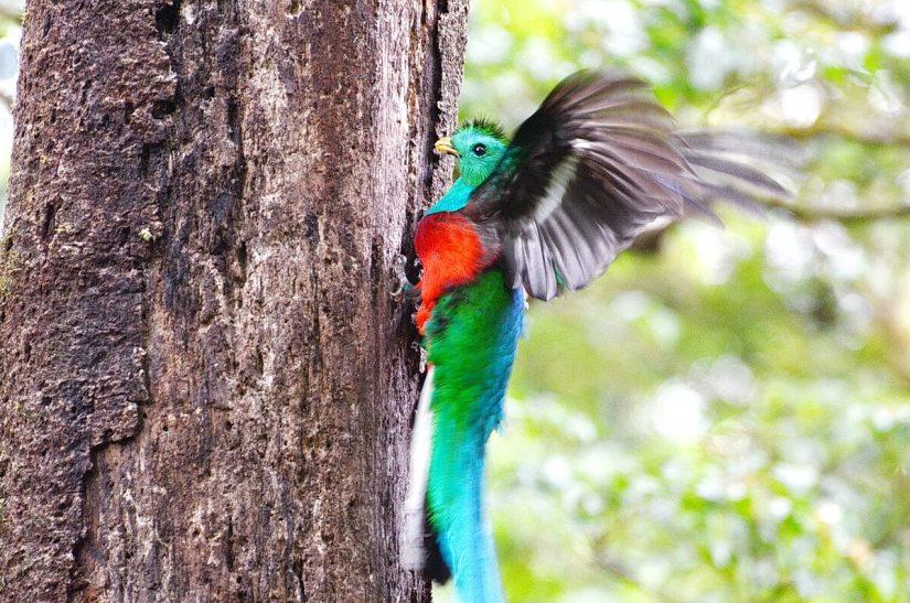 a male resplendent quetzal, monteverde cloud forest preserve, costa rica