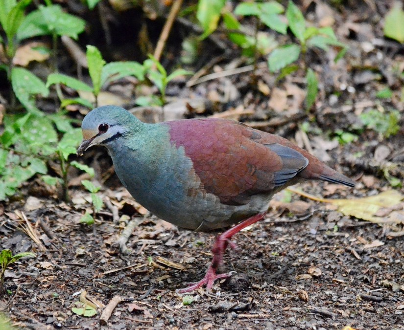 a buff-fronted quail dove, monteverde cloud forest preserve, costa rica