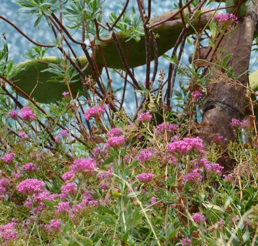 a corsican swallowtail butterfly, corniglia, cinque terre, italy