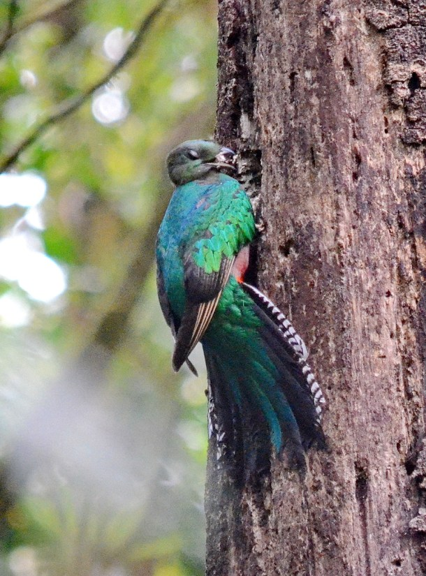 a female resplendent quetzal at a nest hole, monteverde cloud forest preserve, costa rica