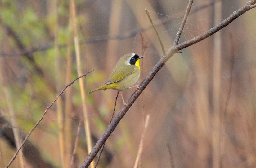 a common yellowthroat warbler, the tip of long point, lake erie, ontario