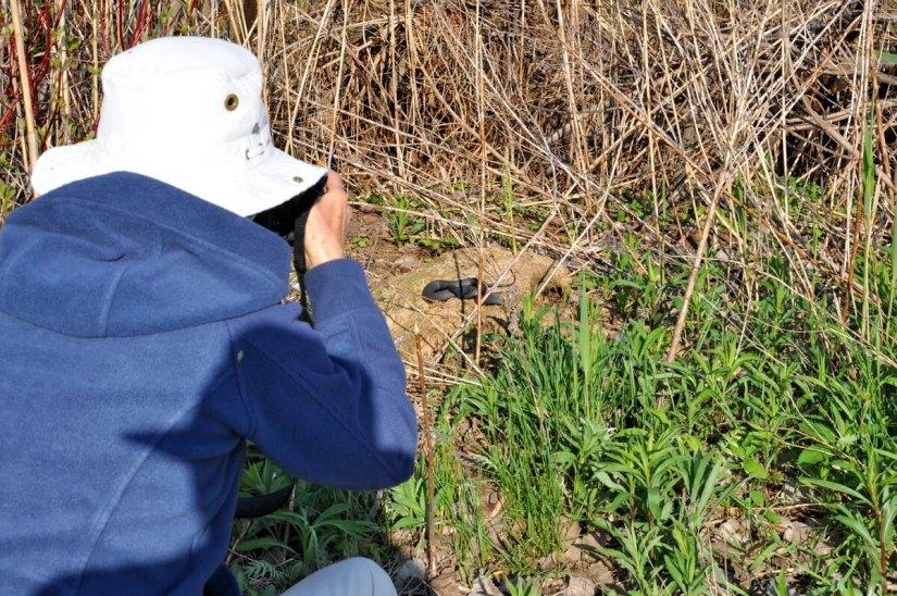 jean photographing a melanistic eastern garter snake, crown marsh, long point, ontario