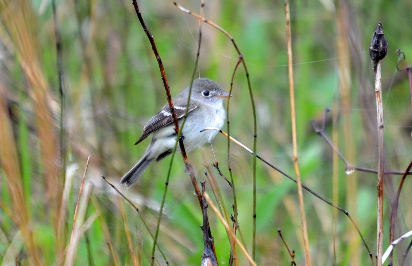 a least flycatcher, the tip of long point, lake erie, ontario