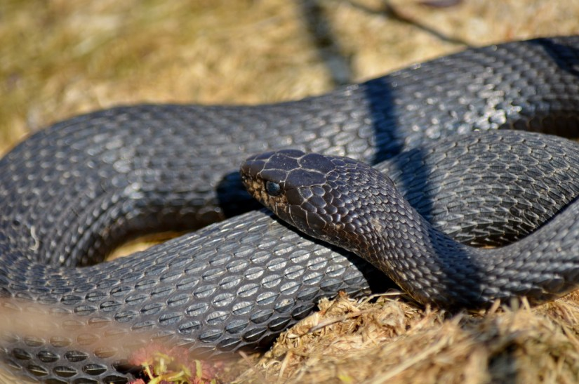 melanistic eastern garter snake, crown marsh, long point, ontario