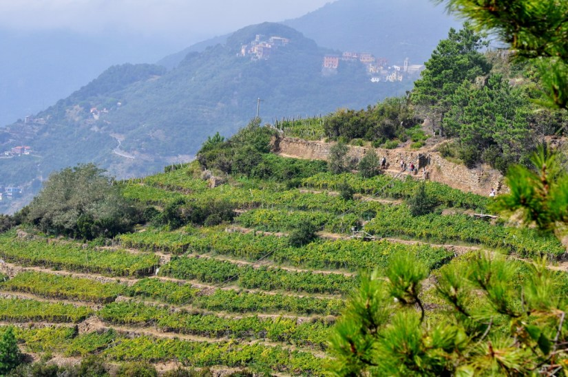 hiking trail across a terraced vineyard, cinque terre, italy