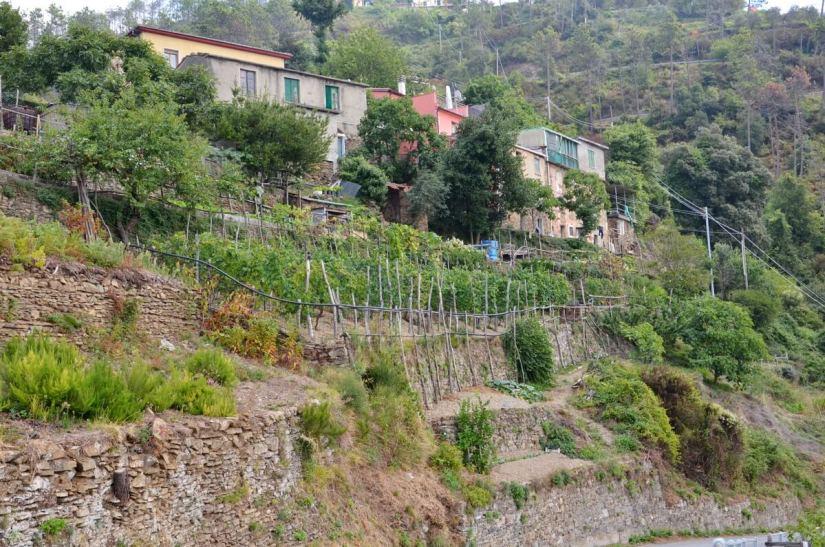 terraced vineyard, cinque terre, italy