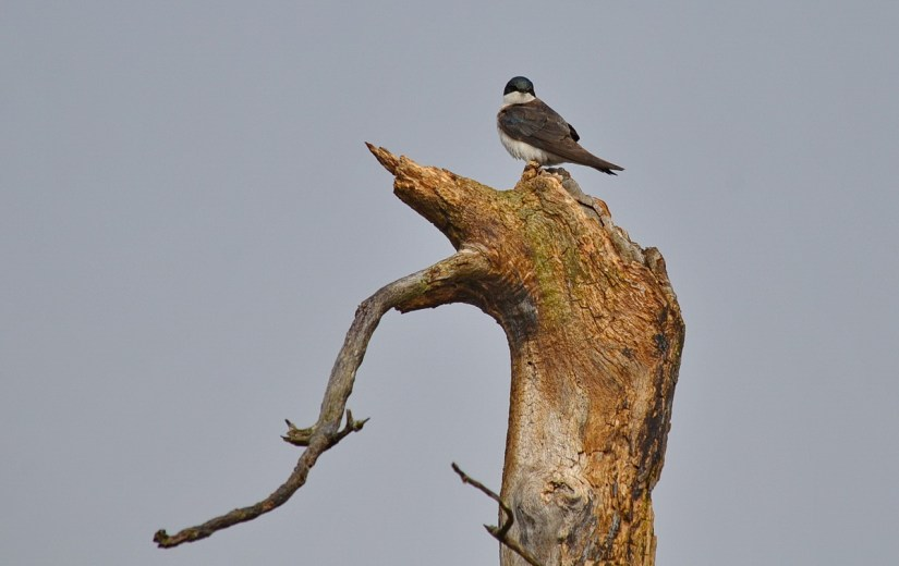 a tree swallow, the tip of long point, lake erie, ontario