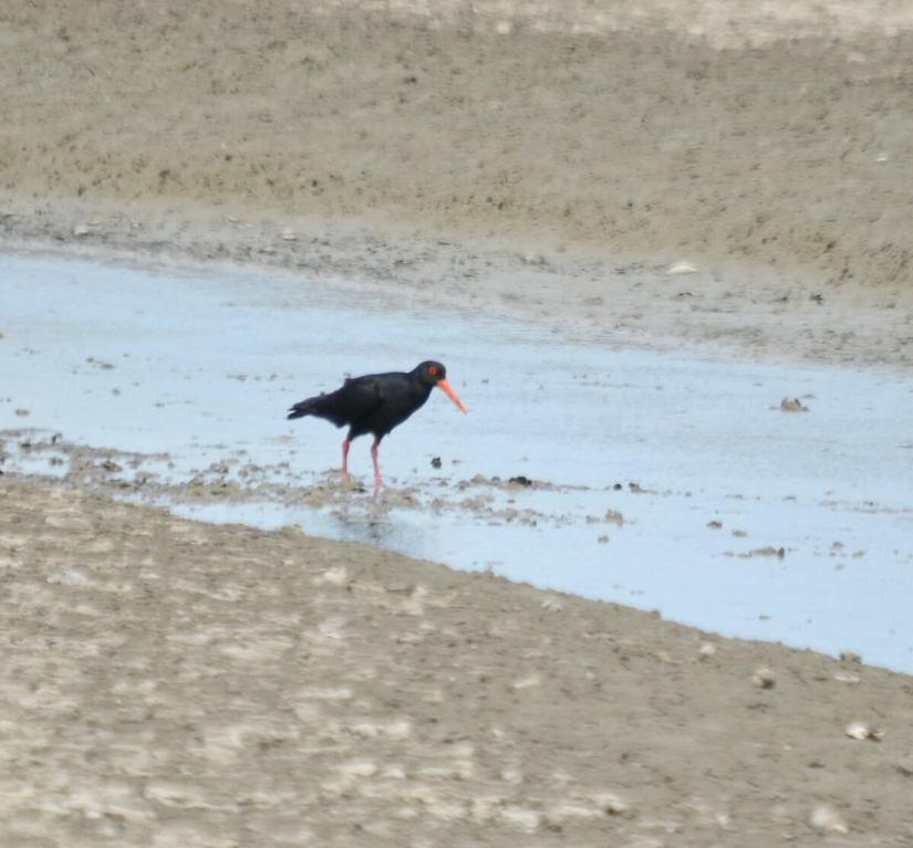 a variable oystercatcher, Pukorokoro Miranda Shorebird Centre, north island, new zealand