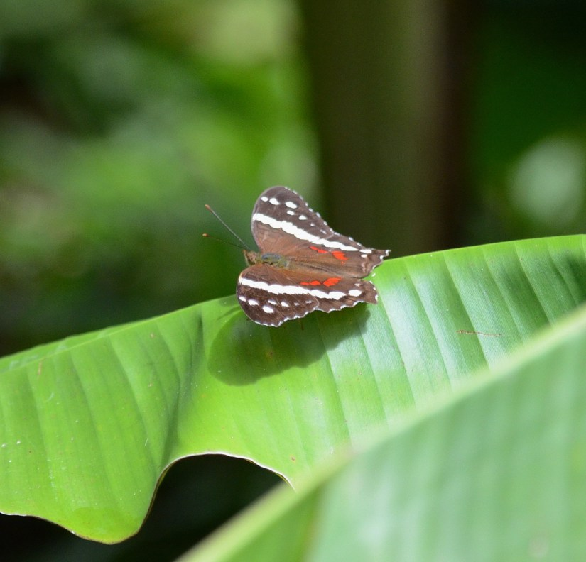 a banded peacock butterfly, kokoro lodge, la fortuna, costa rica