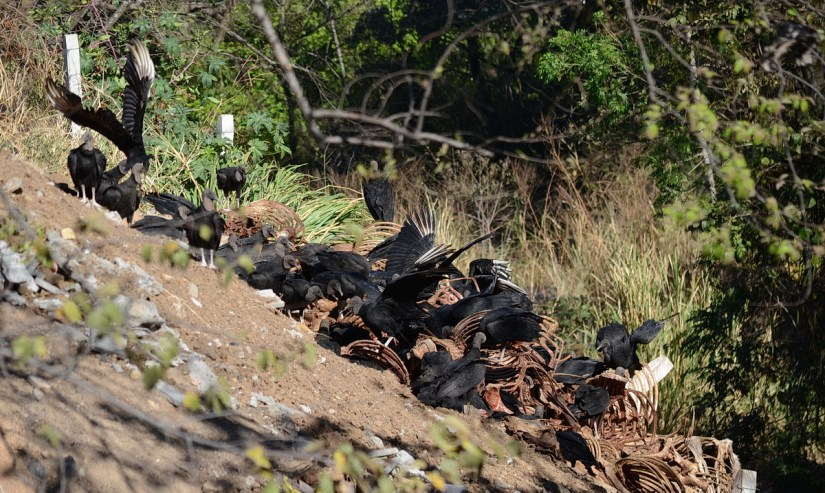 a wake of black vultures on skeletal remains, costa rica
