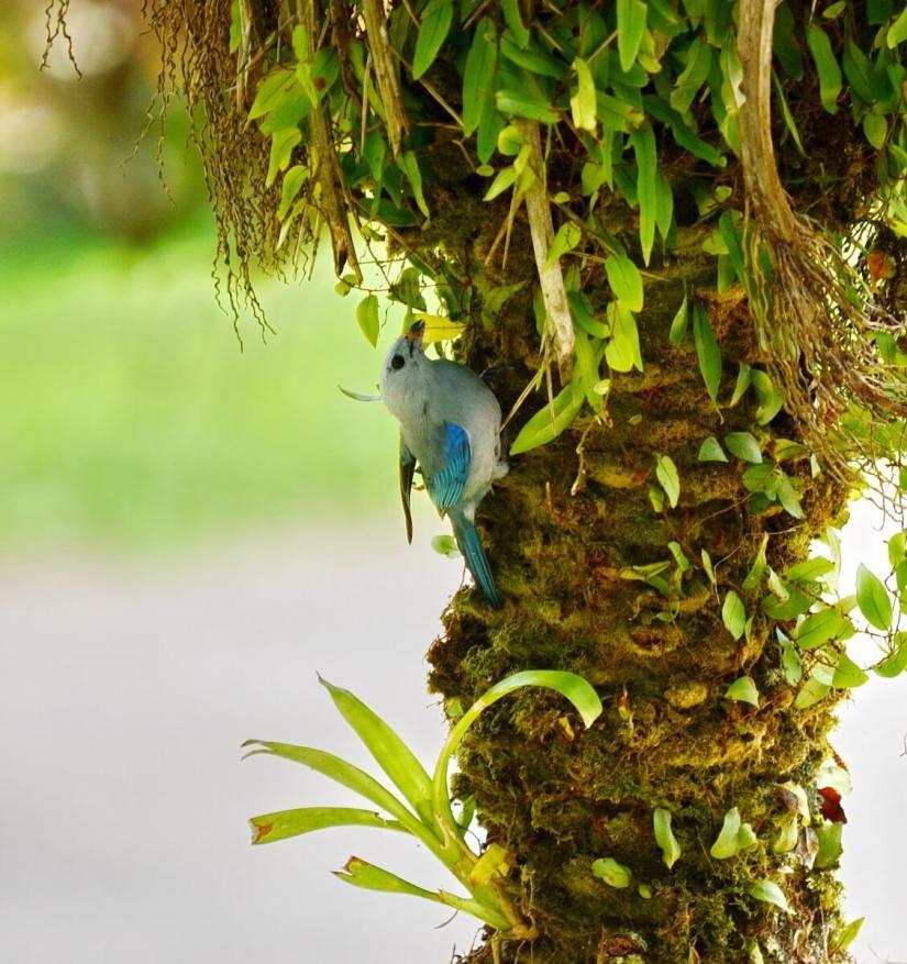 a blue-gray tanager, kokoro lodge, la fortuna, costa rica