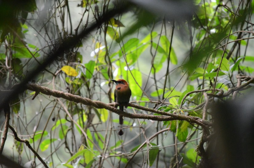 a broad-billed motmot, mistico arenal hanging bridges park, la fortuna, costa rica
