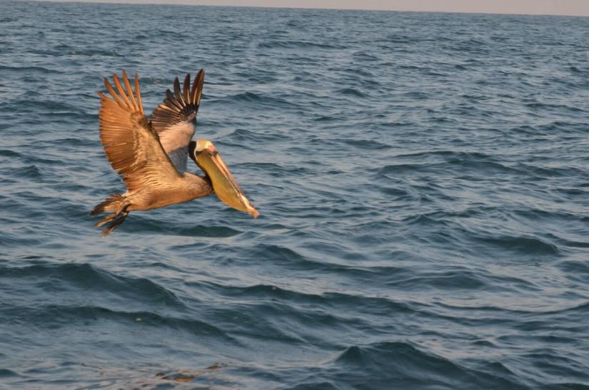 a brown pelican, san blas, mexico
