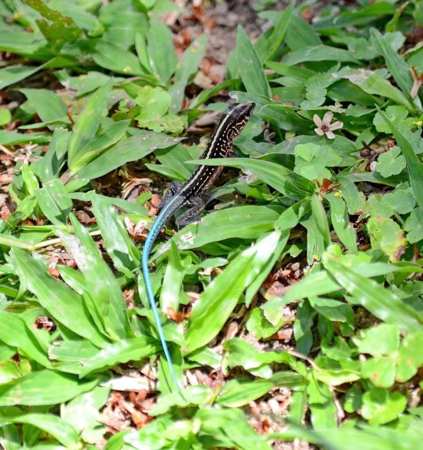 a central american whiptail lizard, kokoro lodge, la fortuna, costa rica