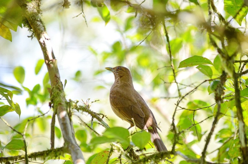 a clay-coloured thrush, kokoro lodge, la fortuna, costa rica