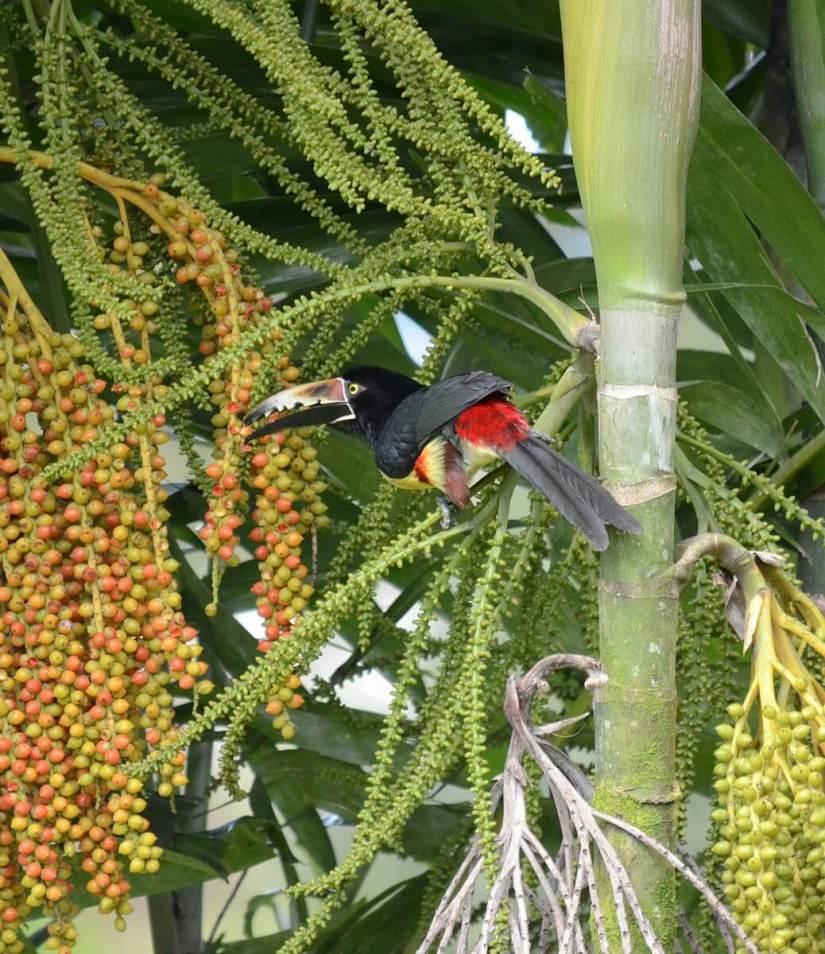 a collared aracari eating fruit, kokoro lodge, la fortuna, costa rica