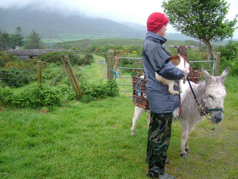 a goatherd with a kid and donkey, killorglin, ring of kerry, ireland