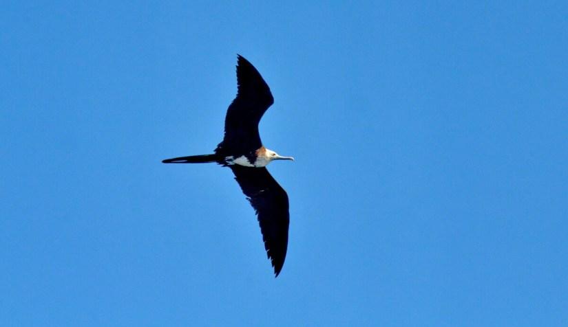 a female magnificent frigatebird soaring above isla isabel, mexico
