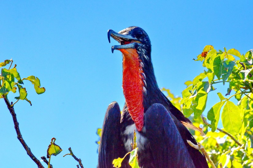 a male magnificent frigatebird with deflated gular sac, isla isabel, mexico