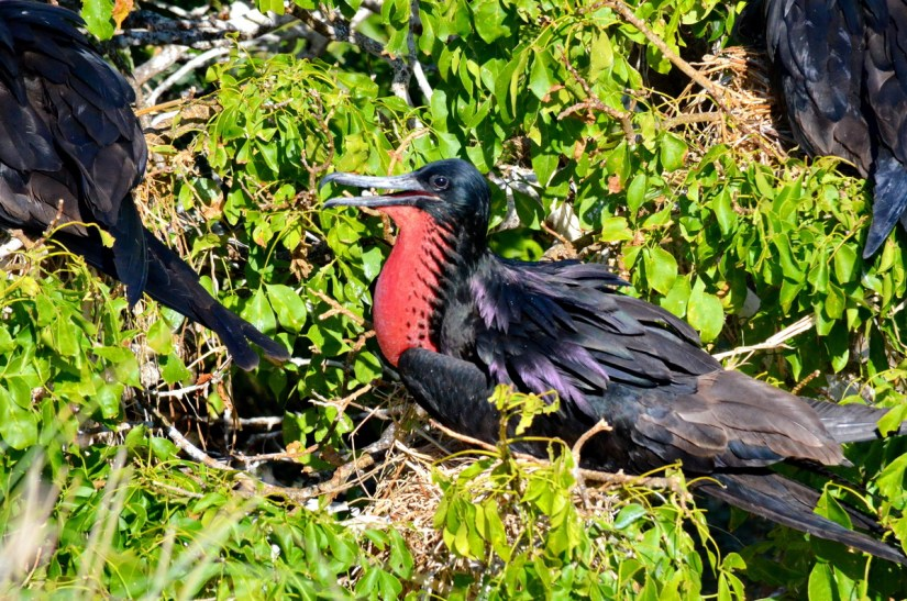 a male magnificent frigatebird, isla isabel, mexico