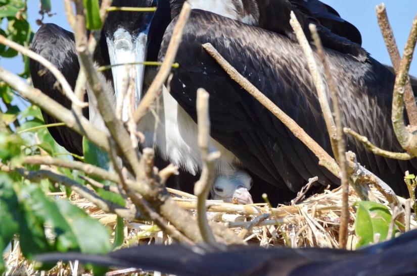 magnificent frigatebird chick, isla isabel, mexico
