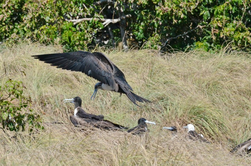 magnificent frigatebirds in long grass, isla isabel, mexico