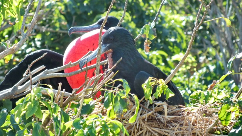 male magnificent frigatebirds showing gular sacs, isla isabel, mexico