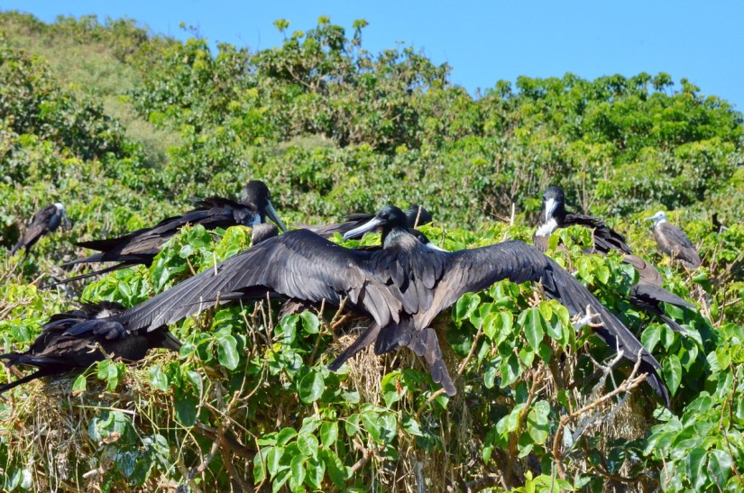 magnificent frigatebird with wings spread, isla isabel, mexico