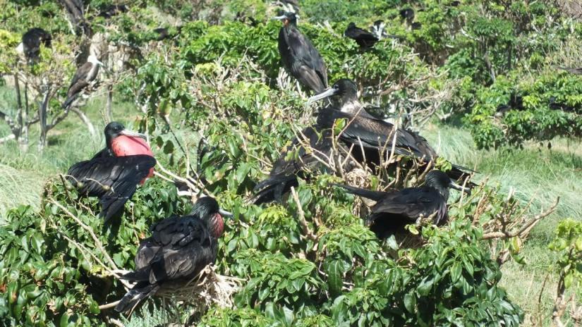magnificent frigatebirds on nests, isla isabel, mexico