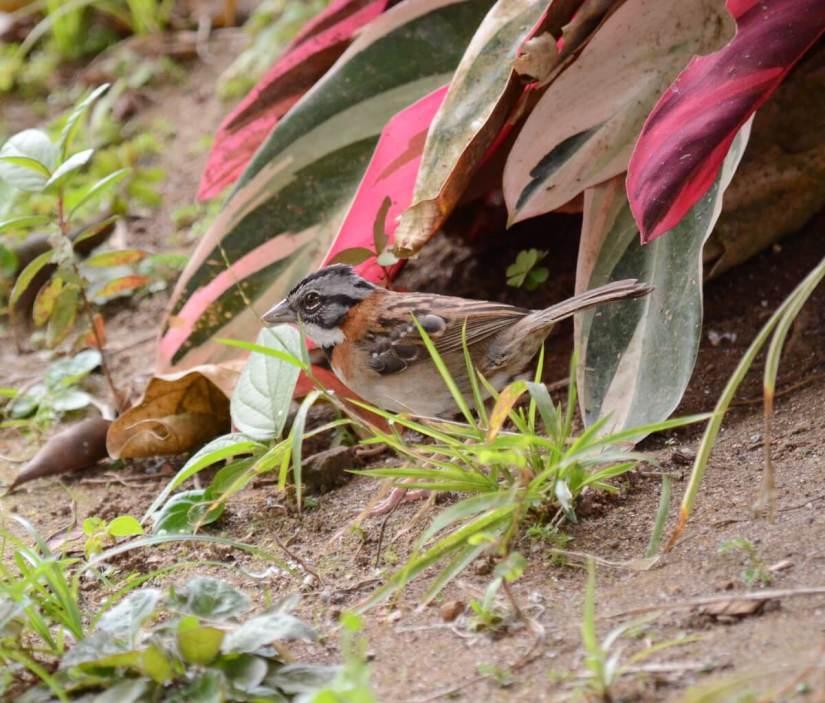 a rufous-collared sparrow, kokoro lodge, la fortuna, costa rica